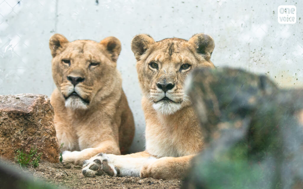 picture of two female lion
